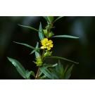 Sun Opener, Sinicuichi (Heimia Salicifolia)