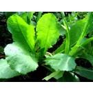Wild Lettuce, Opium Lettuce (Lactuca Virosa)