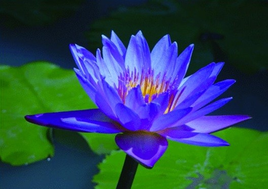 Blue Lotus (Nymphaea caerulea)