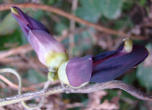 Cowage, Cowitch (Mucuna pruriens) Beans (Seeds)