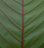 Kratom - Red Vein Borneo (Mitragyna speciosa)