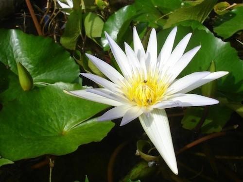 White Lotus (Nymphaea alba)