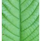 Kratom - Green Vein Borneo (Mitragyna speciosa)