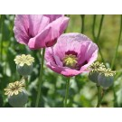 Poppy Seeds (Papaver somniferum)