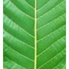 Kratom - White Vein Borneo (Mitragyna speciosa)